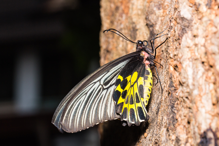 Butterfly in nature, close up of female Golden Birdwing (Troides aeacus) butterfly clinging on tree trunk, lateral view