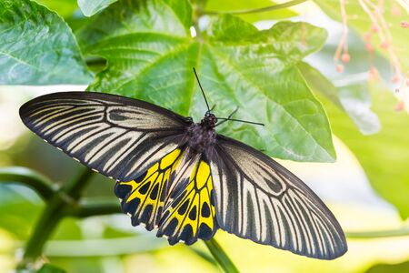 Butterfly in nature, close up of female Golden Birdwing (Troides aeacus) butterfly clinging on green leaf, dorsal view Stock Photo