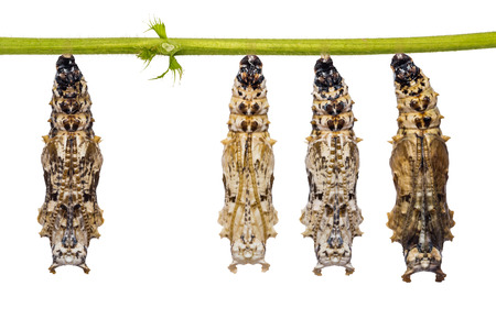 Leopard Lacewing (Cethosia cyane) pupae hang on their host plant stem, isolated on white background with clipping path