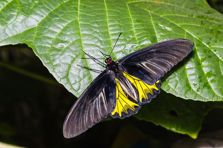 Butterfly in nature, close up of male Golden Birdwing (Troides aeacus) butterfly clinging on green leaf, dorsal view