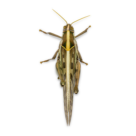 Brown grasshopper, Migratory Bird Locust or Brown Spotted Locust (Cyrtacanthacris tatarica), isolated on white background with clipping path