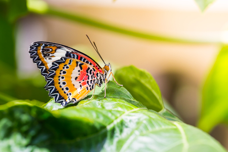 Butterfly in nature, close up of male leopard lacewing (Cethosia cyane euanthes) butterfly perching on green leaf