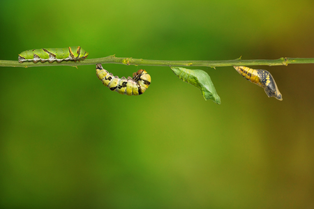 Lime butterfly or Lemon butterfly (Papilio demoleus) life cycle, from caterpillar to pupa, isolated on nature background with clipping path