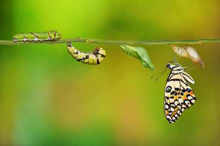 Lime butterfly or Lemon butterfly (Papilio demoleus) life cycle, from caterpillar to pupa and its adult form, isolated on nature background with clipping path