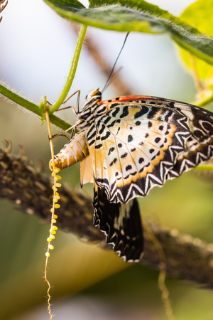Butterfly in nature, close up of female leopard lacewing (Cethosia cyane euanthes) butterfly lays eggs on its host plant Stock Photo