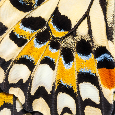 Butterfly wings texture, close up of wings of Lime butterfly or Lemon butterfly (Papilio demoleus) showing minute scales 写真素材
