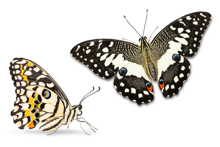 Close up of Lime butterfly or Lemon butterfly or Lime swallowtail (Papilio demoleus), lateral and dorsal view, isolated on white background Stock Photo
