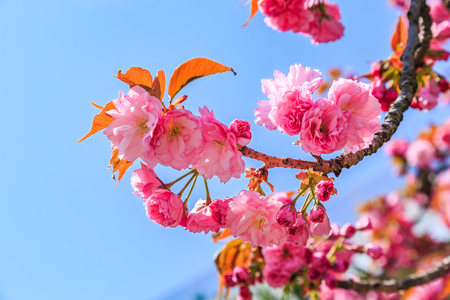 Blooming pink Japanese cherry or sakura flowers (Prunus serrulata or Kanzan) in Europe