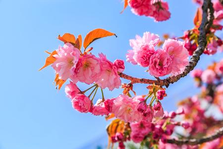 Blooming pink Japanese cherry or sakura flowers (Prunus serrulata or Kanzan) in Europe Imagens - 102844427