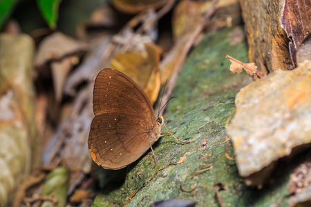 Close up of Common Faun (Faunis canens) butterfly in the forest