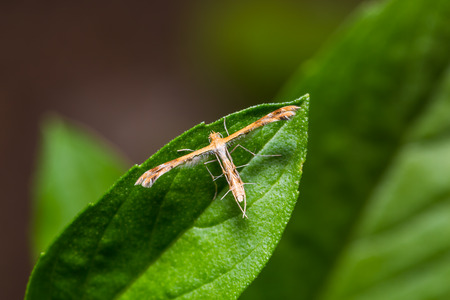 Close up of plume moth (Pterophoridae) perching on green leaf in nature