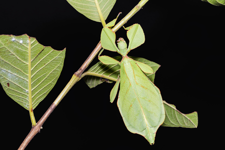 Close up of female leaf insect (Phyllium westwoodi) on its host plant, dorsal view Reklamní fotografie