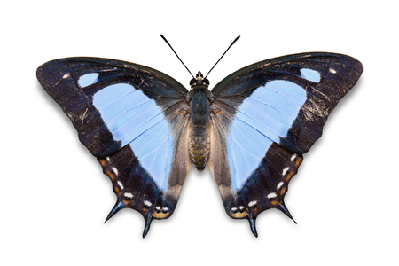 Close up of blue color Common Nawab (Polyura athamas) butterfly, isolated on white background with clipping path