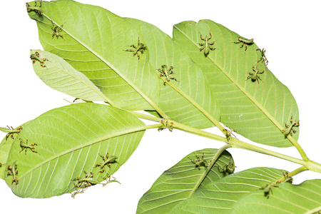 Close up of many young leaf insects (Phyllium westwoodi) on their host plant leaves, isolated on white background with clipping path Stock Photo