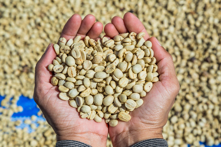 Coffee beans with parchment skin, after the pulp and outer skin were removed, in hands