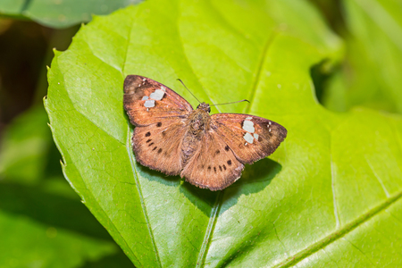 Close up of Brown Pied Flat (Coladenia agni de Niceville) butterfly perching on green leaf in nature Stock Photo