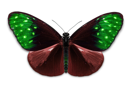 Close up of abstract color red-green Common Crow (Euploea core) butterfly, isolated on white background with clipping path, dorsal view