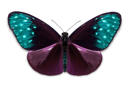 Close up of abstract color purple-teal Common Crow (Euploea core) butterfly, isolated on white background with clipping path, dorsal view