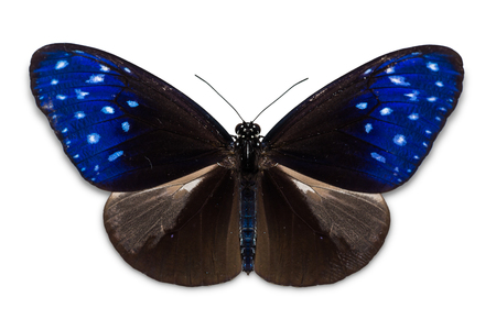Close up of Common Crow (Euploea core) butterfly, isolated on white background with clipping path, dorsal view