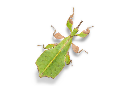Close up of male leaf insect (Phyllium ericoriai), isolated on white background with clipping path