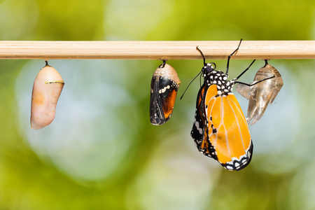 Close up of newly emerged Plain Tiger butterfly clinging beside its pupal case and a mature pupa and a young pupa, growth and change and transformation concept, isolated with clipping path