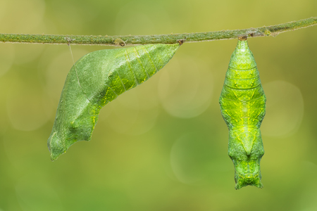 Close up of Lime butterfly or Lemon butterfly (Papilio demoleus) pupa, isolated on nature background with clipping path