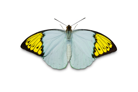 Close up of abstract teal-yellow color Great Orange Tip (Hebomoia glaucippe) butterfly, isolated on white background with clipping path