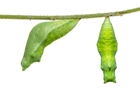 Close up of Lime butterfly or Lemon butterfly (Papilio demoleus) pupa, isolated on white background with clipping path
