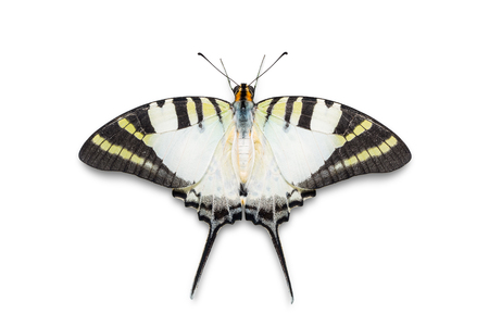Close up of Five-bar Swordtail (Graphium antiphates) butterfly, dorsal view, isolated on white background with clipping path