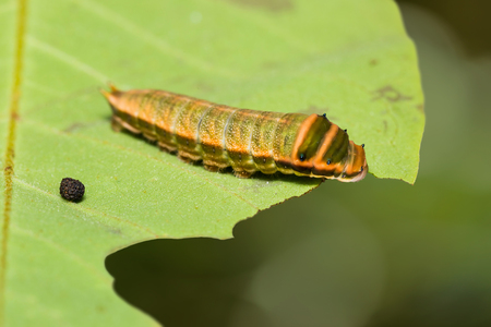 Close up of Five-bar Swordtail (Graphium antiphates) caterpillar on its host plant leaf