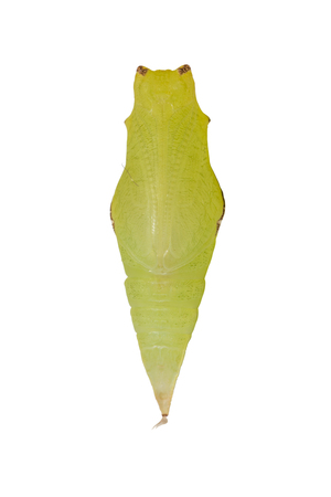 Close up of Tailed Jay (Graphium agamemnon) pupa, isolated on white background with clipping path