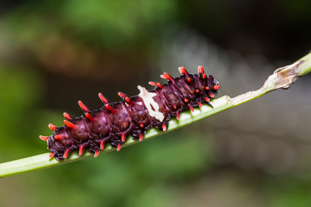 Close up of Common Rose (Pachliopta aristolochiae) caterpillar on its host plant stem in nature