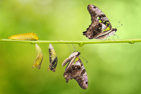 Tailed Jay (Graphium agamemnon) butterfly life cycle, from caterpillar to pupa and its adult form, change and transformation concept, isolated on nature background with clipping path