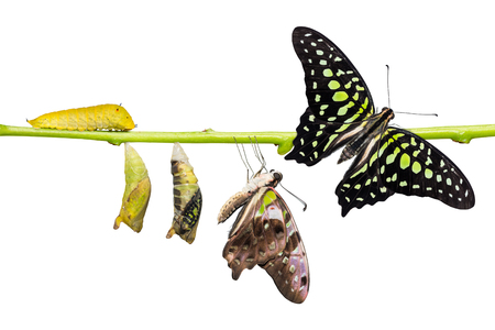 Tailed Jay (Graphium agamemnon) butterfly life cycle, from caterpillar to pupa and its adult form, change and transformation concept, isolated on white background with clipping path