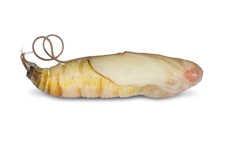 Close up of Giant Redeye (Gangara thyrsis) pupa, isolated on white background with clipping path