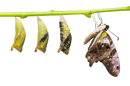 Close up of new born Tailed Jay (Graphium agamemnon) butterfly and pupa transformation, isolated on white background with clipping path