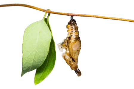 Close up of White Commodore (Parasarpa dudu) pupa hanging on its host plant stem, isolated on white background with clipping path