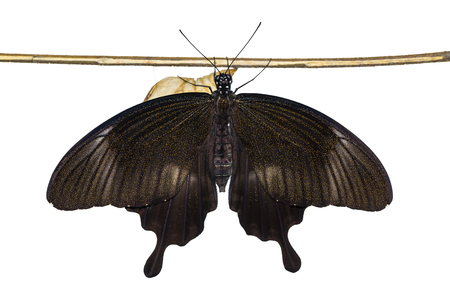 Close up of newly emerged Yellow Helen or Black and White Helen (Papilio nephelus) butterfly, dorsal view, isolated on white background with clipping path