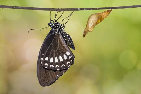 Close up of newly emerged Burmese Raven or Siamese Raven (Papilio mahadeva, Papilio castor mahadeva) butterfly, isolated on nature background with clipping path Banco de Imagens