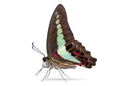 Close up of Common Bluebottle or Blue Triangle (Graphium sarpedon) butterfly, isolated on white background with clipping path Stok Fotoğraf