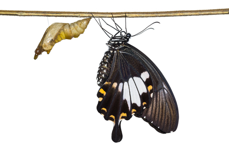 Close up of newly emerged Yellow Helen or Black and White Helen (Papilio nephelus) butterfly, isolated on white background with clipping path