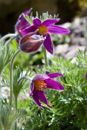 pasqueflower: Selective focus image of the pasqueflower (Pulsatilla vulgaris) Stock Photo