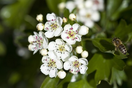 mayflower: Selective focus image of the midland hawthorn ( Crataegus laevigata).