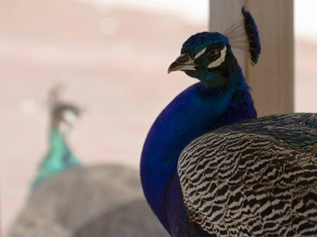 common peafowl: Portrait of a male Indian Peafowl (Pavo cristatus), Peacock with a female peacock in the background. Stock Photo