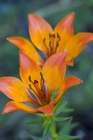 Selective focus image of the Fire Lily (Lilium bulbiferum). Stock Photo - 7236216