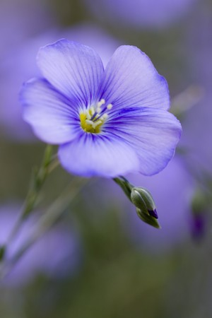 perennial: Selective focus image of the Perennial Flax (Linum perenne). Stock Photo