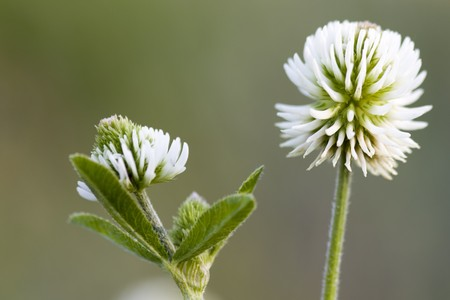 trifolium: Selective focus image of the Trifolium montanum.