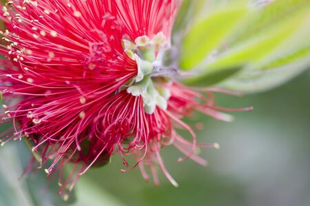 callistemon: Selective focus image of the Bottlebrush (Callistemon comboynensis).