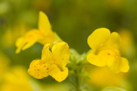 Selectieve aandacht afbeelding van de gemeenschappelijke aap-bloem (Mimulus guttatus).
