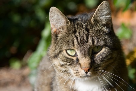Portrait with copy space of a domestic cat looking into the camera. photo